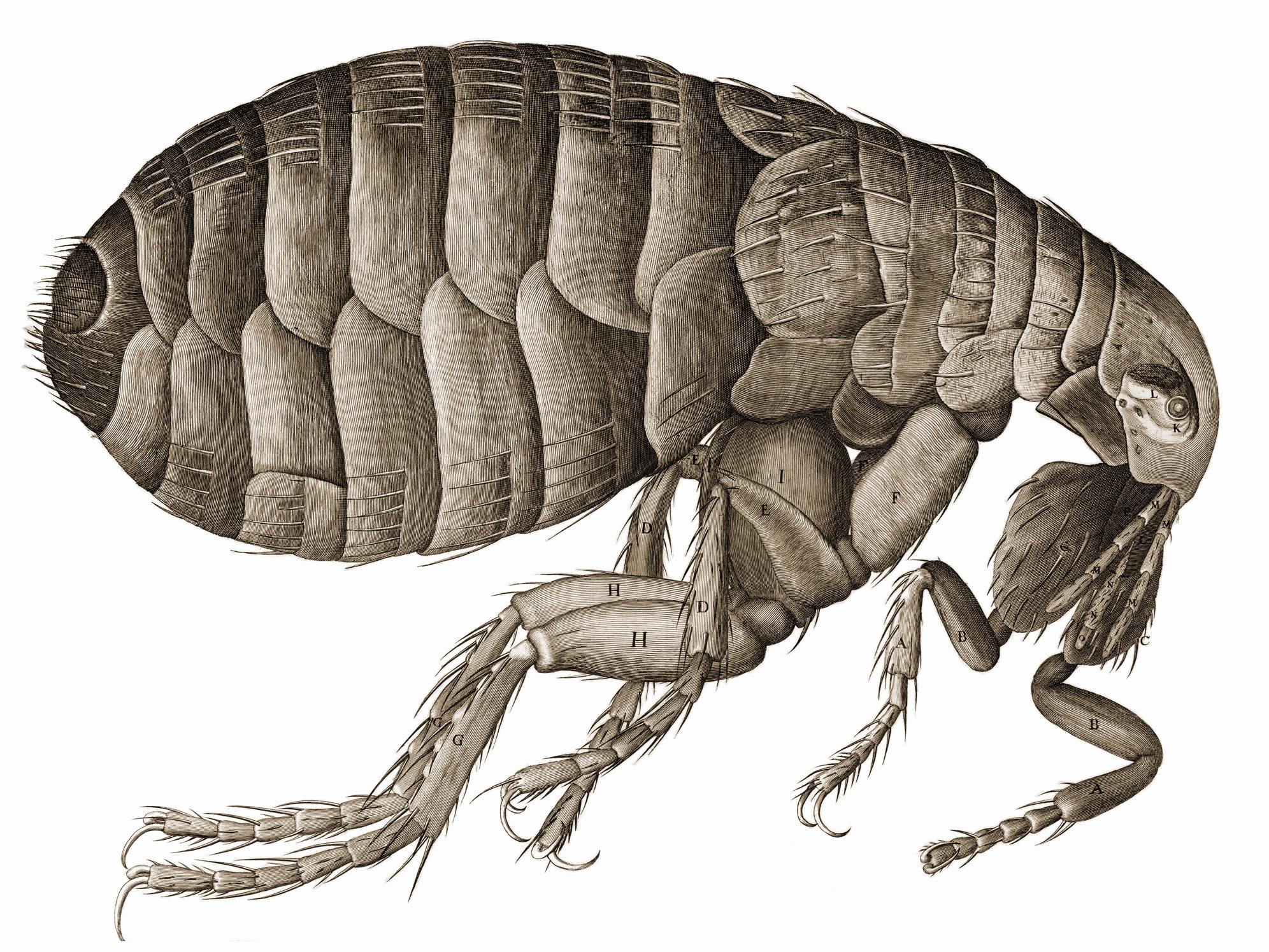 Hookes drawing of a flea, from Wikimedia