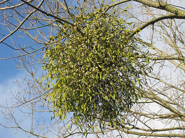 File:Mistletoe, coming soon to a market near you - geograph.org.uk - 1585249.jpg