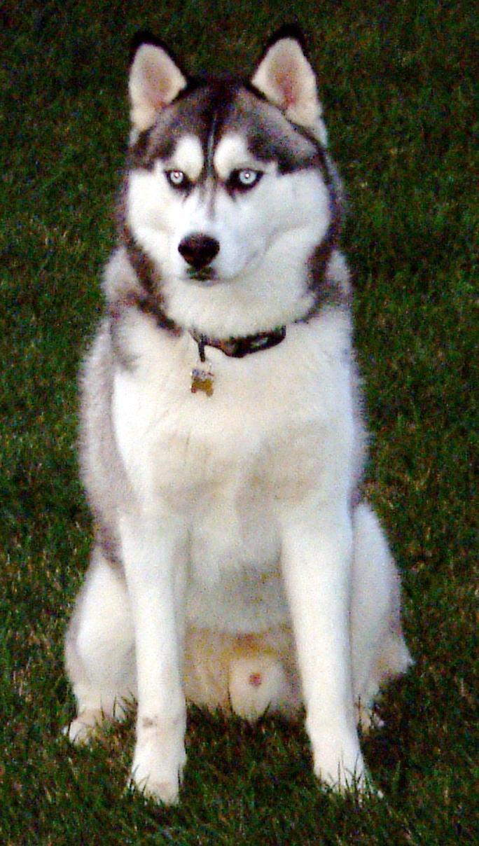 Siberian husky Pitbull Dog Tattoo Ideas