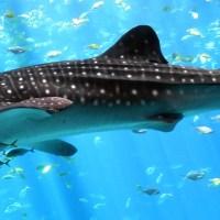 Китовая акула у берегов Эйлата