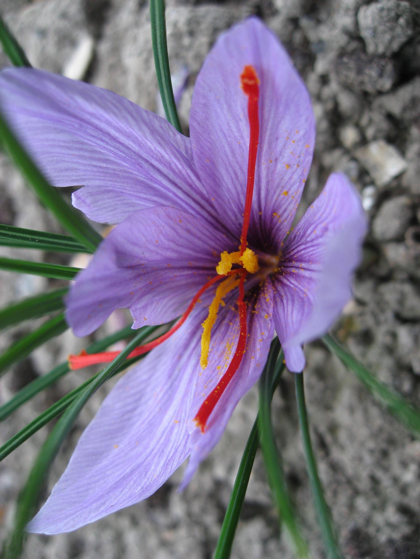 https://i2.wp.com/upload.wikimedia.org/wikipedia/commons/f/f4/Crocus_sativus_01_by_Line1.JPG