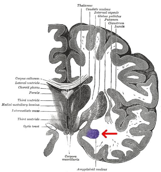 Gray 718-amygdala
