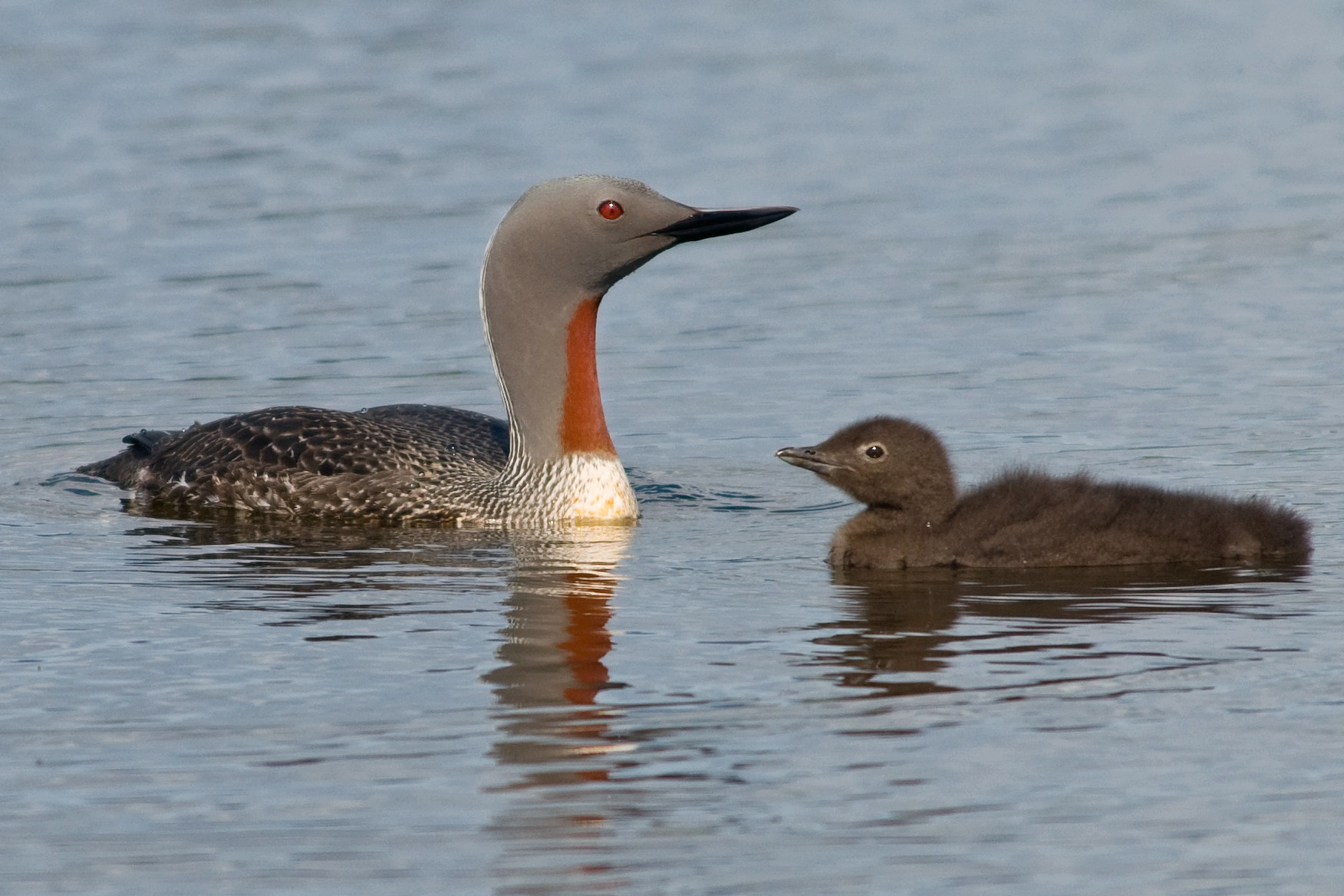 Red-throated loon with chick