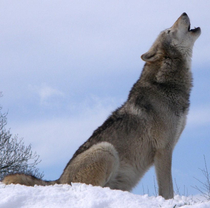 Howling UK wolf