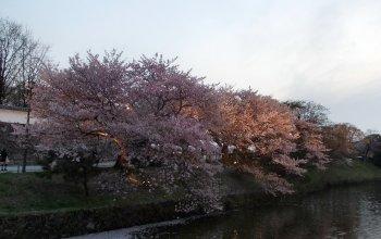 Sakura at Fukuoka Castle