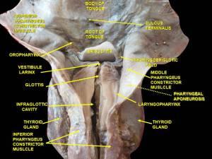 Pharyngobasilar fascia  Wikipedia