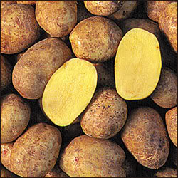 English: Golden Flesh Yukon Gold Potato