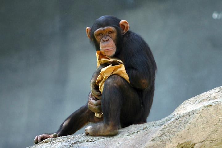 Ficheiro:Lightmatter chimp.jpg