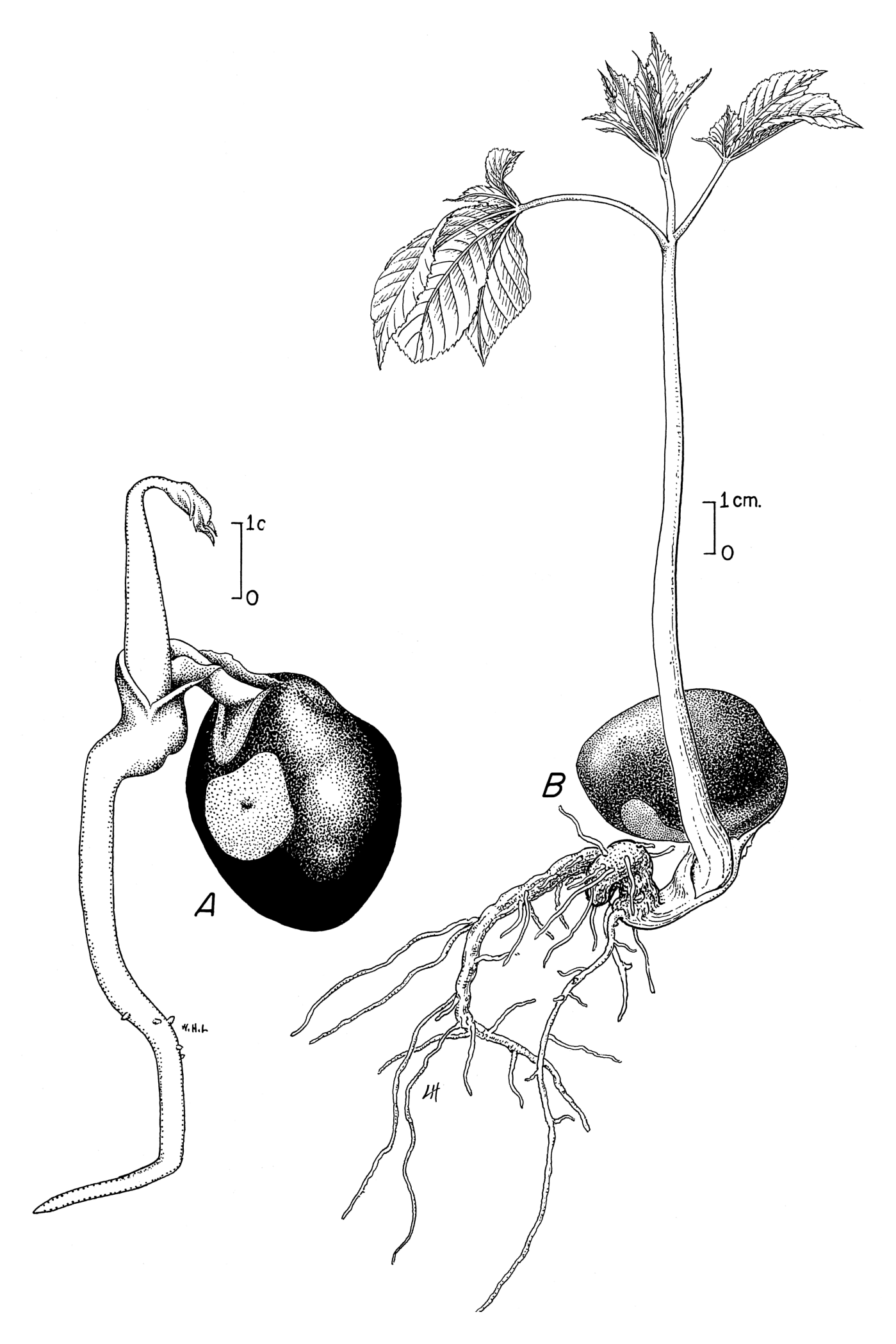 File Aesculus Flava Seedling Drawing