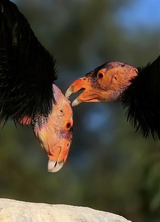 Critically-endangered California condors. Image via Wikipedia.