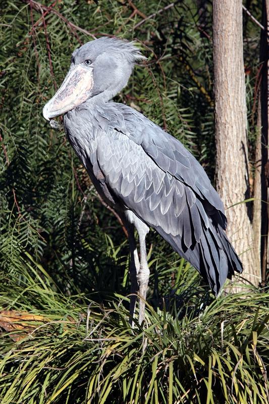 Balaeniceps rex -San Diego Zoo-8.jpg