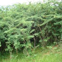 Marabú ¿árbol rechazado o deseado?