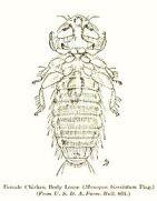 Bird louse