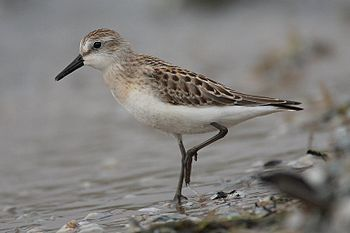 Semipalmated Sandpiper, occurs in large flocks...