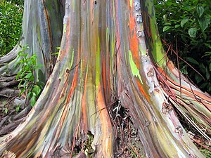 Eucalyptus deglupta-base