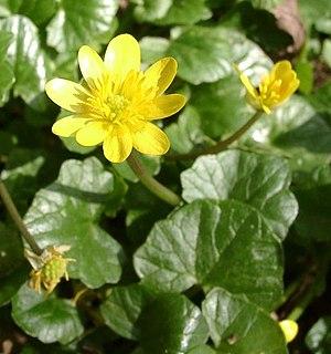 Ranunculus ficaria.