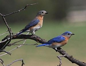Sialia sialis English: A pair of Eastern Blueb...