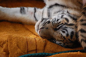 English: Tiger cub, exhausted after playing al...