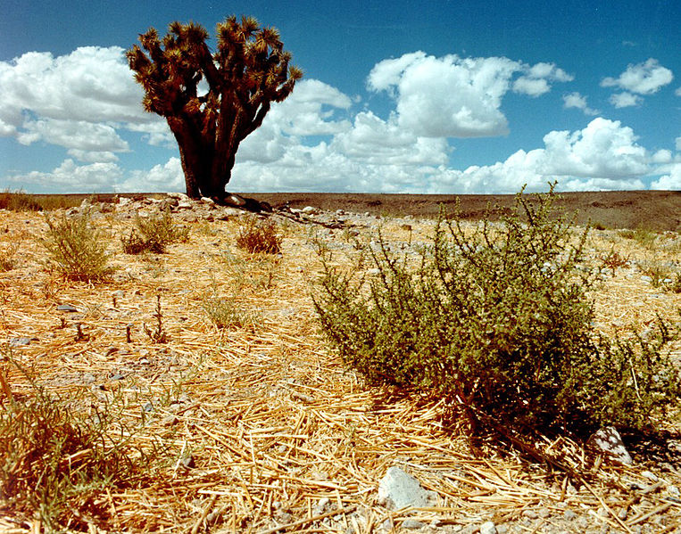 File:Yucca brevifolia at the Nevada Test Site 1.jpg