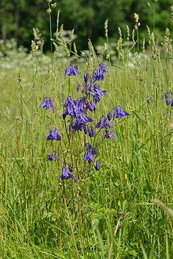 Aquilegia vulgaris - Harilik kurekell.jpg