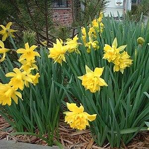 Spring daffodils in fresh shredded wood mulch ...