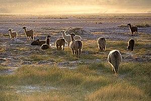 Llamas (Lama glama) in the sunset near San Ped...