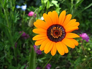 English: Belle Vue Gazania A Gazania growing a...