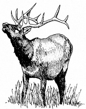 A rutting male Elk