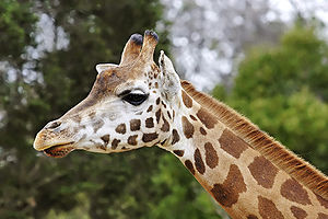 English: Giraffe (Giraffa camelopardalis), Mel...