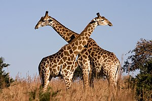 Fighting giraffes in Ithala Game Reserve, nort...