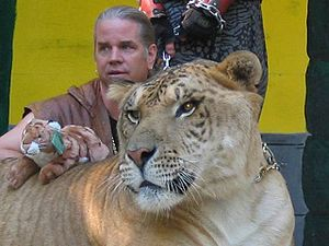 A liger and its trainer, Dr. Bhagavan Antle, p...