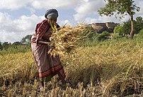 A woman manually harvesting crops in Tirumayam...