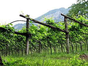 How grape vines are grown in Trentino, Italy I...