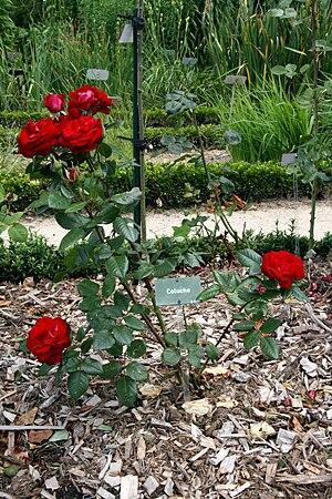 "A ""Coluche"" rosebush, in Thabor park..."