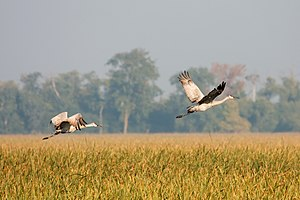 Two Sandhill Cranes (Grus canadensis), flying ...