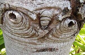 English: Bark details of Silver tree, Leucaden...