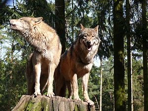 European Wolves.
