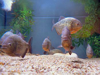Piranha-vermelha no Fluviário de Mora