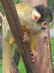 Os macacos são um importante reservatório do v�rus. Macaco do gênero Samiri