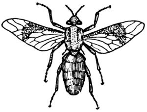 English: Horsefly