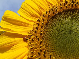 English: Ladybird on a sunflower A rare spot o...
