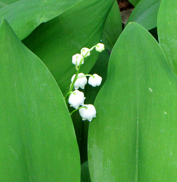 File:Lily-of-the-valley.jpg