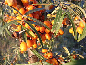 The fruit of the sea-buckthorn