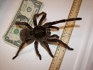 English: Theraphosa blondi - Goliath birdeater...