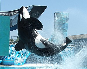 Orca show at Sea World San Diego