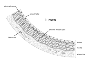 Diagram showing the location of vascular smoot...