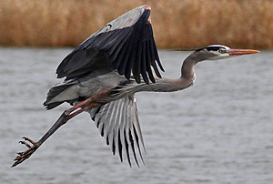 A Great Blue Heron in Montezuma National Wildl...