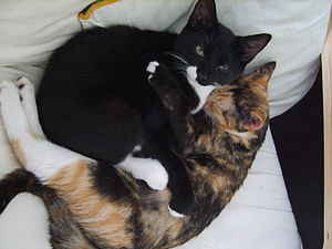 English: My new kittens, Odin (male) and Ruby ...