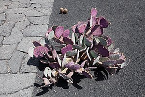 English: Opuntia macrocentra, Jardín de Cactus...
