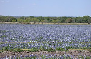 A field of Texas Bluebonnets